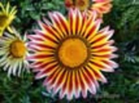 Çiçek Güzel forum